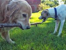 Dog tug of war Royalty Free Stock Images