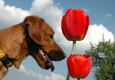 Dog with tulips Stock Image