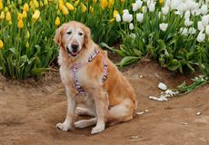 Dog in Tulips Royalty Free Stock Photography