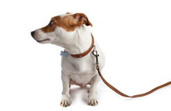 Dog turned on a leash with a collar Royalty Free Stock Image