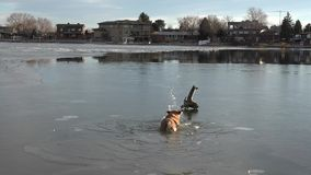 Dog Turning Back Stick From Thin Ice stock video footage