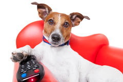 Dog tv. Dog watching tv or a movie sitting on a red sofa or couch  with remote control changing the channels Stock Images