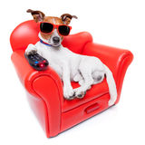 Dog tv. Dog watching tv or a movie sitting on a red sofa or couch  with remote control changing the channels Royalty Free Stock Photo