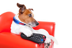 Dog tv. Dog watching tv or a movie sitting on a red sofa or couch  with remote control changing the channels Royalty Free Stock Image