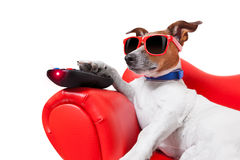 Dog tv. Dog watching tv or a movie sitting on a red sofa or couch  with remote control changing the channels Royalty Free Stock Images