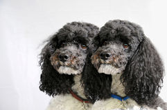 Dog twins Stock Photos