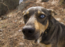 Dog with two different colored eyes brown and blue Stock Photo
