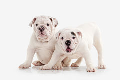 Dog. Two English bulldog puppies on white background Royalty Free Stock Images