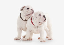 Dog. Two English bulldog puppies on white background Stock Photography