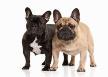 Dog. Two French bulldog puppies on white background Royalty Free Stock Photo