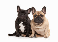 Dog. Two French bulldog puppies on white background Royalty Free Stock Images