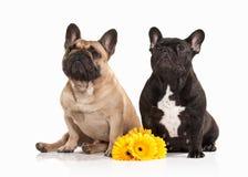Dog. Two French bulldog puppies on white background Royalty Free Stock Photos