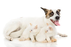 Dog and two kittens. Royalty Free Stock Photography