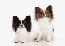 Dog. Two Papillon puppies on a white background Stock Photography