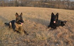 Dog125. Two purebred German Shepherd Dogs, male and female, sable color, laying in a grassy field in winter Royalty Free Stock Images