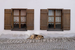 Dog between two windows. This foreign dog has two masters, but he don't want to causes conflicts between them. So he just laid down between their windows Royalty Free Stock Images