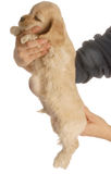 Dog with umbilical hernia Stock Photo