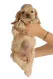 Dog with umbillical hernia Stock Photo