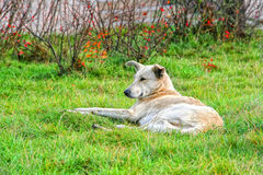 Dog unattended lies on the green grass. Stock Photography