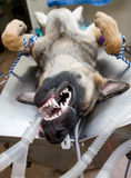 Dog under anesthesia Stock Image