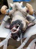 Dog under anesthesia Stock Image