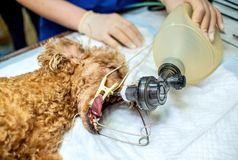 Dog under anesthesia on the surgical table. Operation to sterilize the animal in the operation stock images