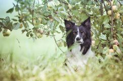 Dog under the Apple Tree. Black and White Border Collie Waiting in Apple Orchard. royalty free stock photos