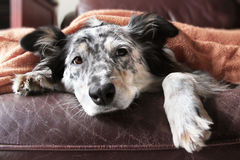 Dog under blanket. Border collie Australian shepherd dog on brown leather couch under blanket looking sad lonely bored hopeful sick curious relaxed comfortable Stock Photography