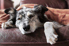 Dog under blanket. Border collie Australian shepherd dog canine on brown leather couch under blanket looking sad bored lonely sick tired exhausted hopeless Stock Photography