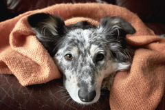 Dog under blanket. Border collie Australian shepherd dog canine under blanket on leather couch looking hopeful playful warm cozy happy cute Royalty Free Stock Photo