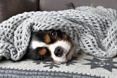 Dog under the blanket Stock Photography
