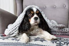 Dog under the blanket. Cute dog, cavalier spaniel under the warm grey blanket Stock Photos