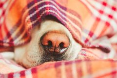 Dog under the blanket. Snout of the sleepy dog (yellow labrador retriever) under the blanket on the bed Stock Photo