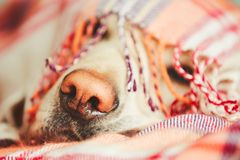 Dog under the blanket. Snout of the sleepy dog (yellow labrador retriever) under the blanket on the bed Stock Photography