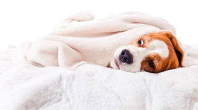 Dog under a blanket on white Stock Images
