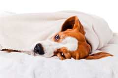 Dog under a blanket on white Royalty Free Stock Photo