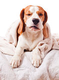Dog under a blanket on white Stock Photos