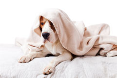 Dog under a blanket on white Stock Photography