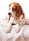 Dog under a blanket on white Royalty Free Stock Image