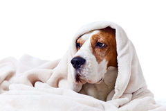 Dog under a blanket on white Royalty Free Stock Photography