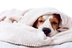 Dog under a blanket on white. Very much sick dog under a blanket, isolated on  white Royalty Free Stock Photos