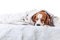 Dog under a blanket on white Royalty Free Stock Photo