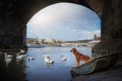 Dog under the bridge. Swans in the river royalty free stock photo