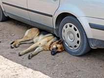 Dog under car Stock Photography