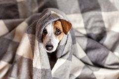 Dog under a plaid. Pet warms under a blanket in cold autumn weather Royalty Free Stock Image