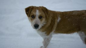 Dog under snow. Good dog under the snow stock video footage