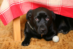Dog under a table stock photography