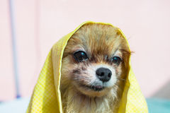 Dog under the towel Stock Photos