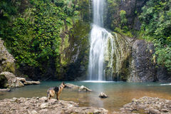 Dog under the waterfall. Dog watches the waterfall in the middle of rain forest. Piha Beach, Auckland, New Zealand royalty free stock images
