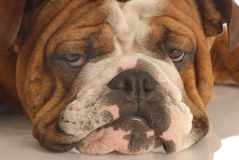 Dog with unhappy scowl. English bulldog face with a unhappy scowl Royalty Free Stock Images